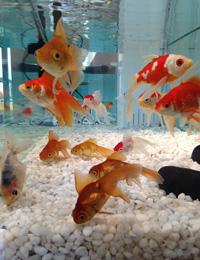 ご長寿金魚での活動風景